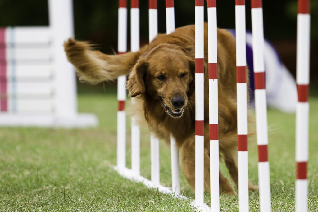 Dog in agility training