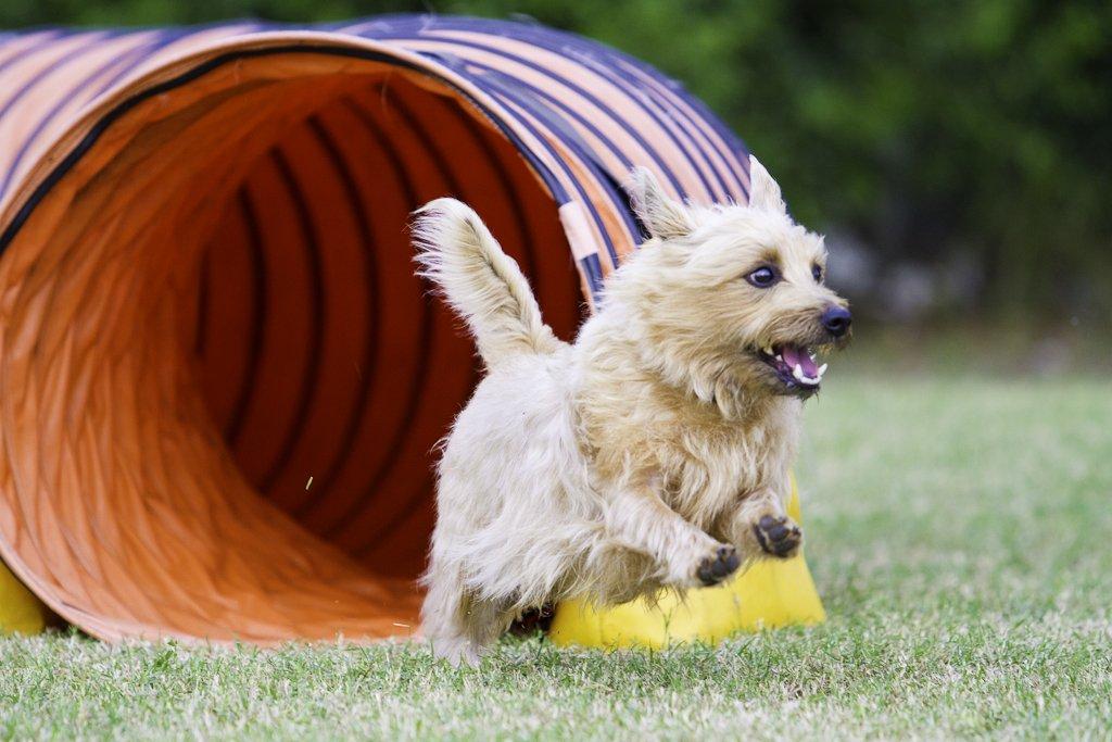 Dog in agility training