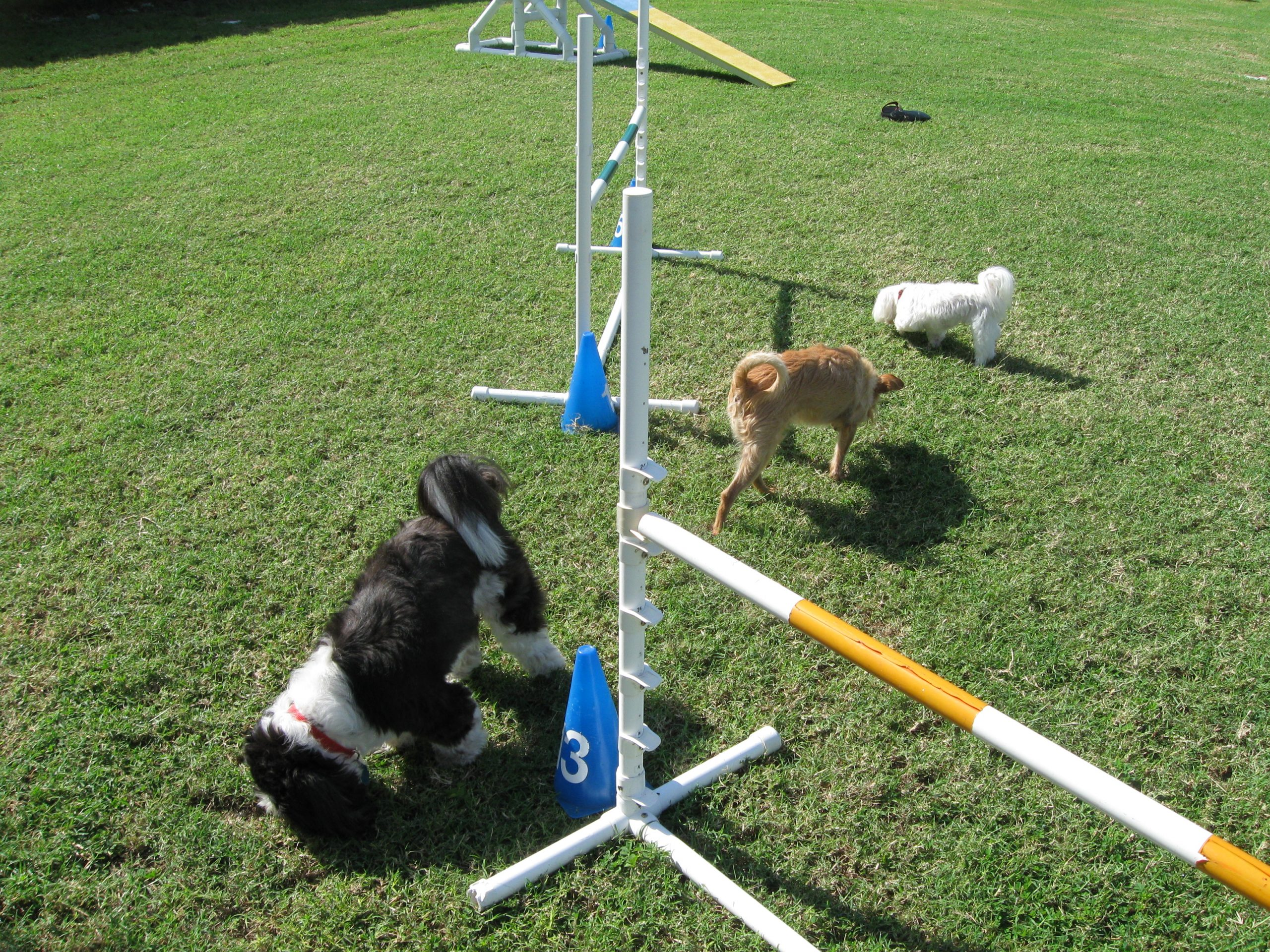 Dogs in agility training