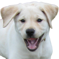 White Lab pup